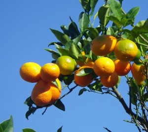 Round oranges on tree. Photograph by: Benjamin Klekamp