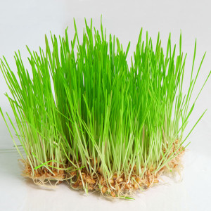 Fresh wheatgrass.