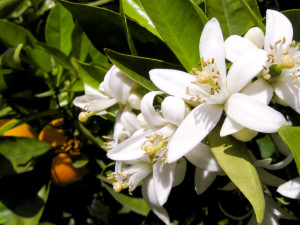 Orange tree flowers.