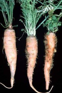 Carrots with Aster Yellow Disease