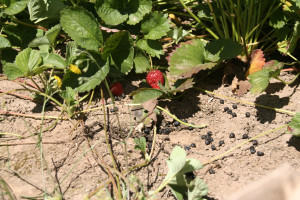 Deer feces in strawberry fields from 2011 Oregon outbreak. Photo by: Dr. William E. Keene