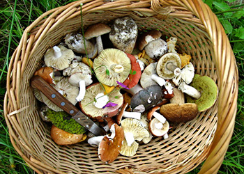Basket of wild edible mushrooms