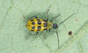Photo Credit: James Castner, Entomology and Nematology Department, University of Florida. The spotted cucumber beetle, Diabrotica undecimpunctata howardi Barber
