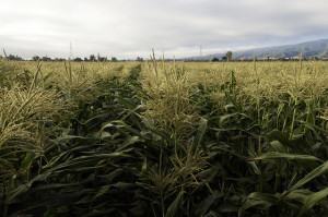 Cornfields ready for harvest on Uesugi Farms in Gilroy, CA.