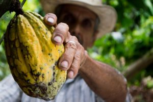 Farmer harvesting a cocoa bean from a cacao tree