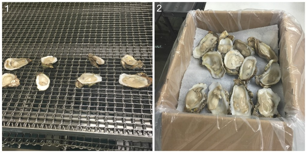 1) Oysters exit the nitrogen freezer. 2) Oysters are packed for shipping. Source: David Dekevich