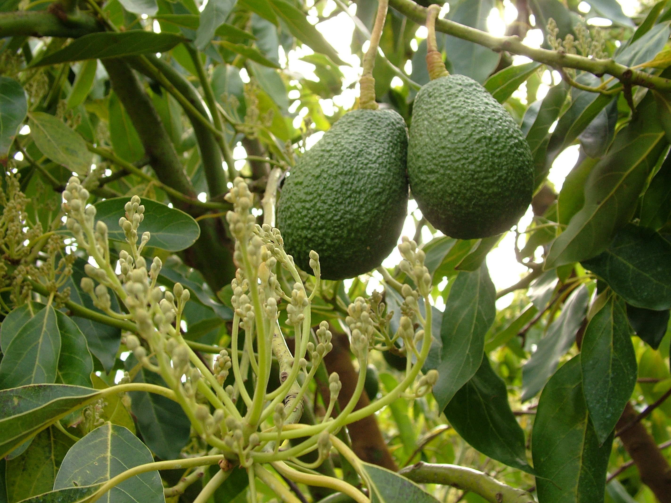 Avocados | Food Source Information