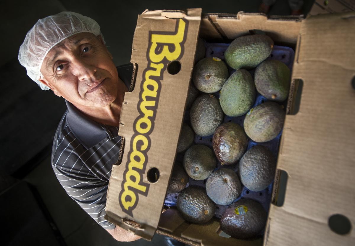 Cruz Sandoval a buyer with Ingardia Bros. Produce Inc., holds one of only about 30 cases of avocados in the company's warehouse in Santa Ana on Monday, October 10, 2016. They usually have about 200. Avocado prices are spiking due to a shortage of supplies from Mexico. Photo by Mindy Schauer,Orange County Register/SCNG)