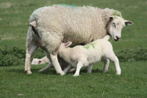 Lamb being fed by sheep