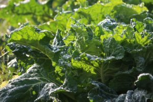 Collards greens growing in a field